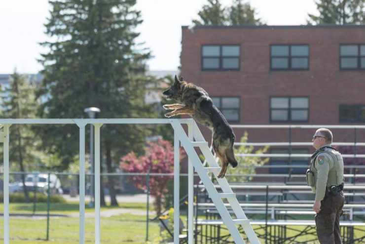 German Shepard climbing obstacle